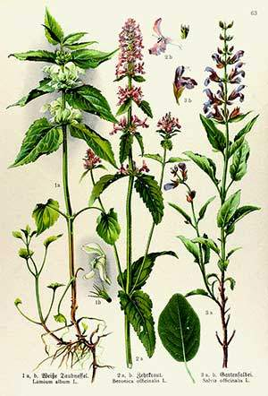 Bétoine (Bétonica officinalis)