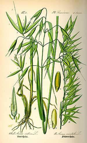 Avoine (Avena sativa)