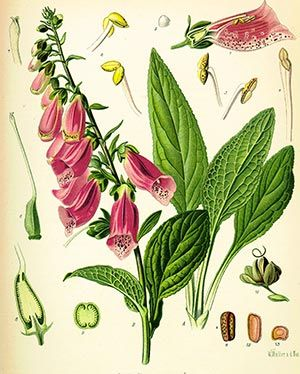 Digitale (Digitalis purpurea)