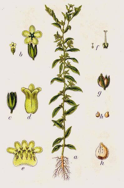 Grémil (Lithospermum officinale)