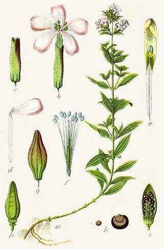 Saponaire (Caryophyllaceae)