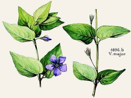 Pervenche (Vinca major)