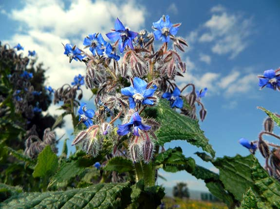 Bourrache - Borago officinalis