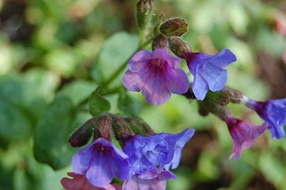 Pulmonaire - Pulmonaria officinalis