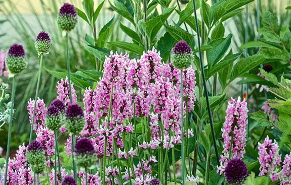 betoine : stachys officinalis