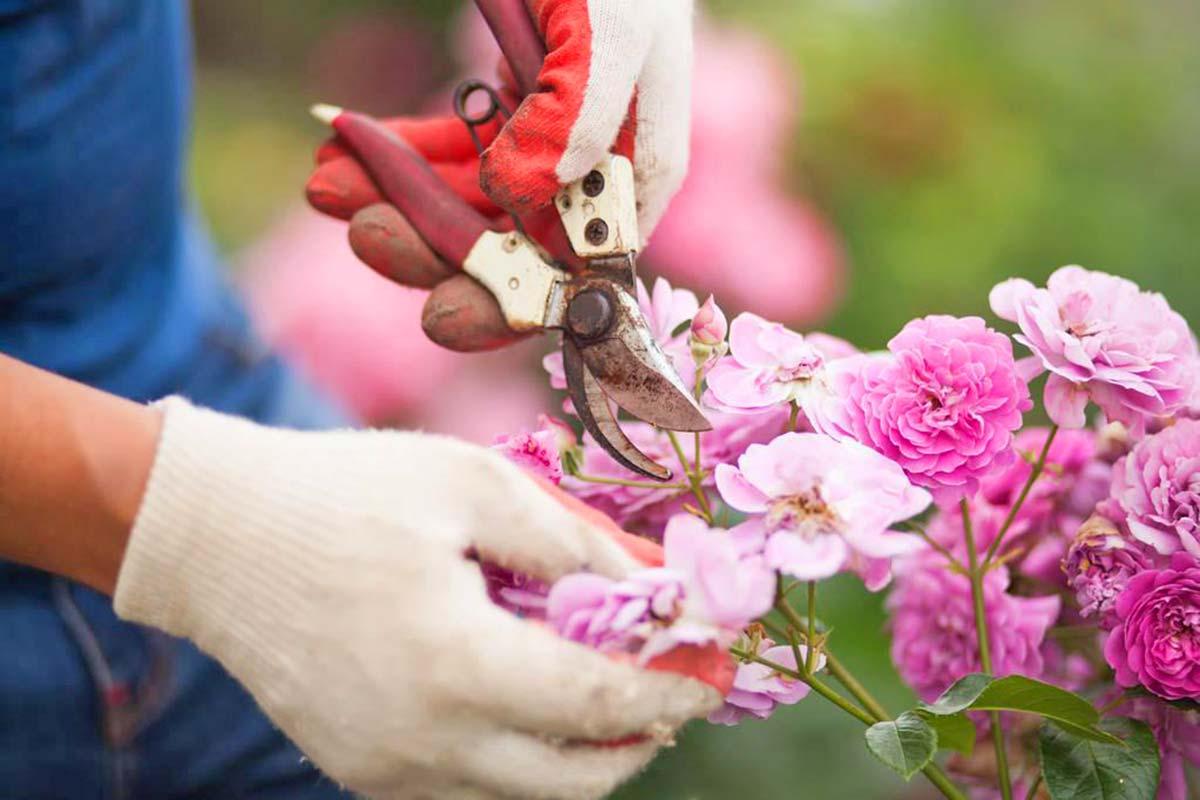 quand et comment bouturer un rosier : méthode facile